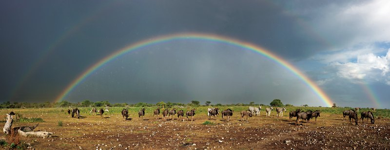 Wildebeest and rainbow, Etosha Natiional Park, Namibia