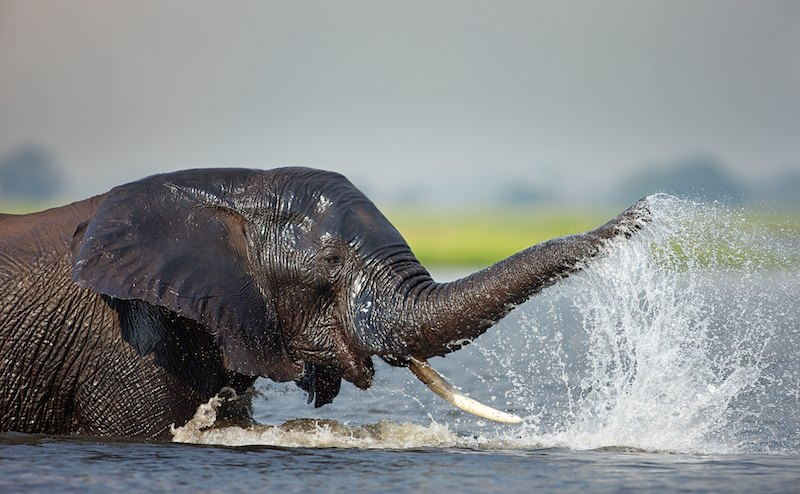 Elephant bathing, Chobe River, Botswana