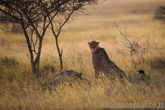 Cheetah and cub on a kill, Etosha National Park