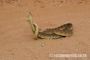 Puff adder, Kgalagadi Transfrontier Park, snakes