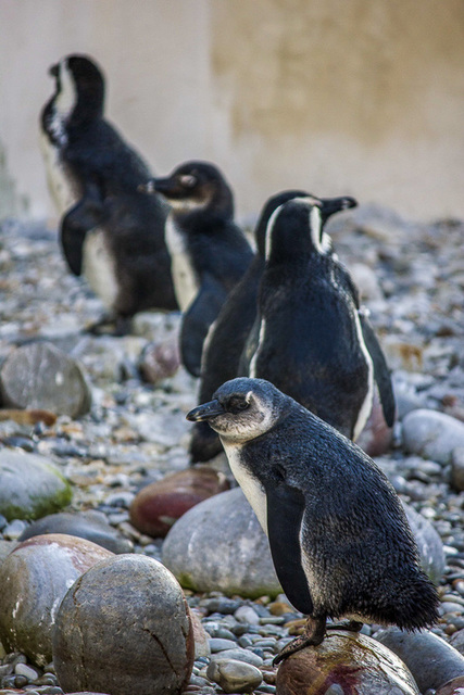 Penguins, African Penguin and Seabird Sanctuary