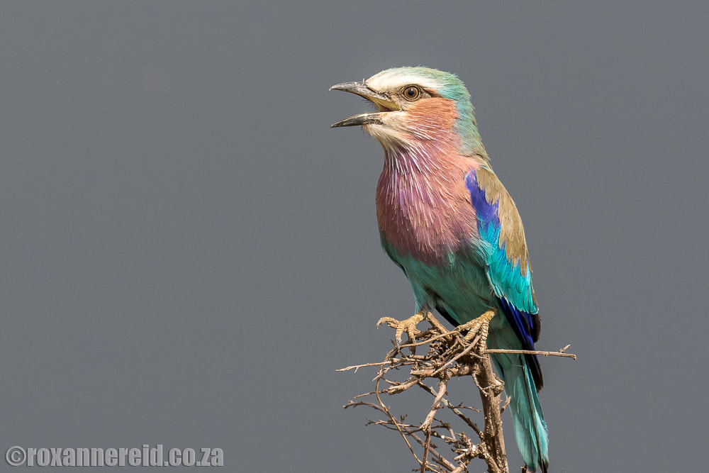 Lilac-breasted roller, ol Donyo Lodge in Kenya's Chyulu Hills