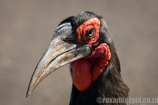 Ground hornbill, Kruger National Park