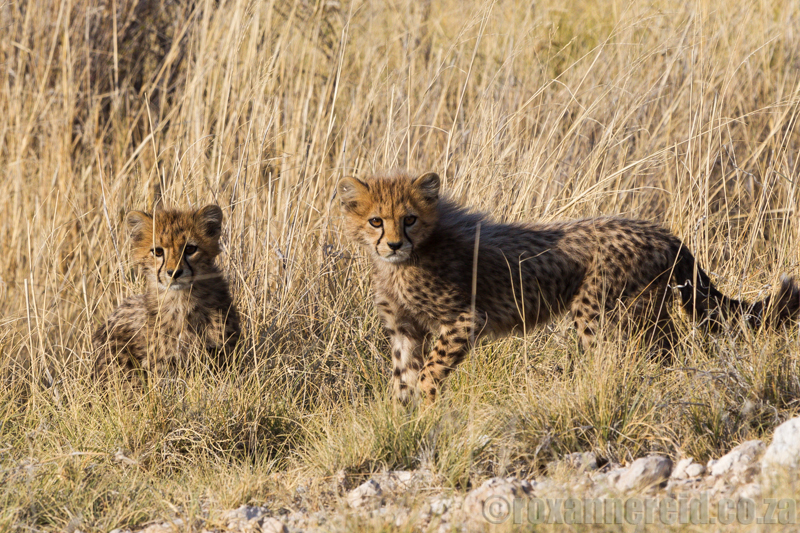 Cheetah cubs, Etosha National Park