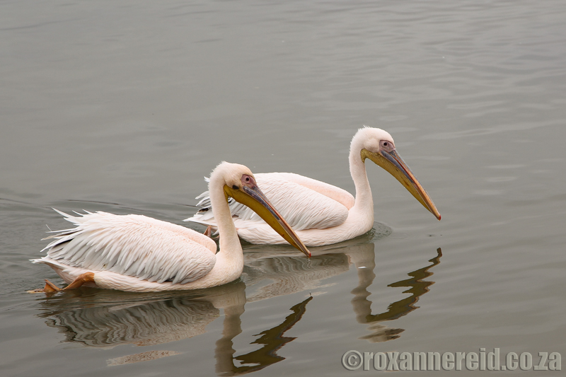 Pelicans, Velddrif, Cape West Coast