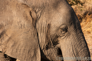 Elephant at Croc Valley, Zambia