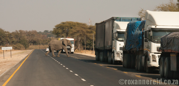 Elephants near the border at Kasane, Botswana