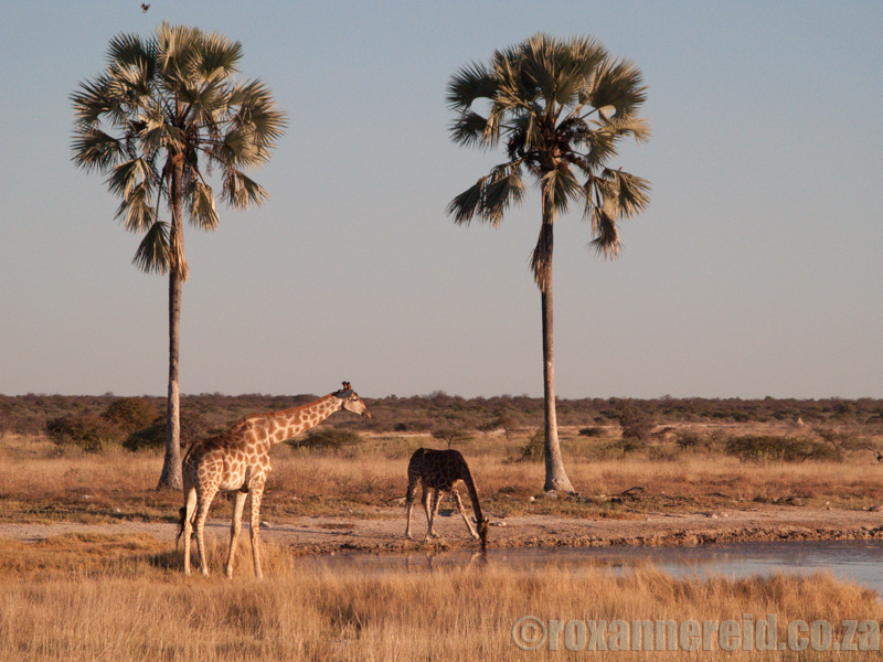 Two Palms waterhole, Etosha National Park