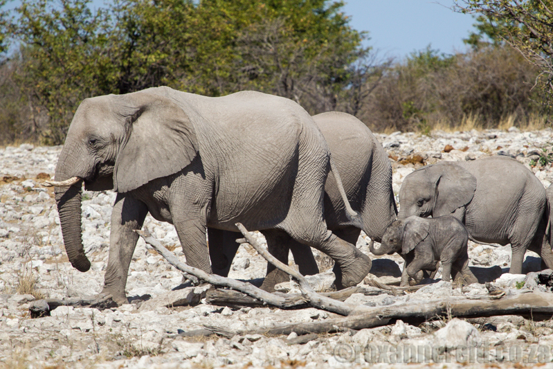 Elephants at Kalkheuwel waterhole, Etosha National Park, Namibia