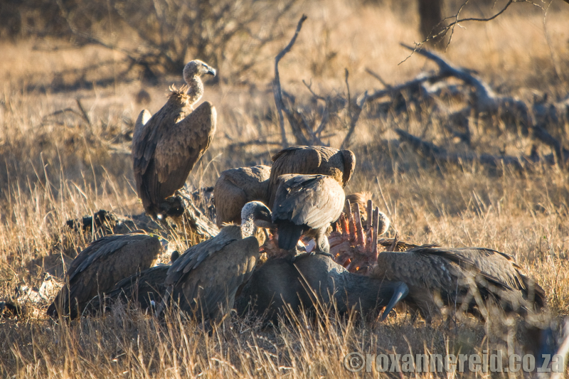 Vultures on a kil,, Kruger National Park