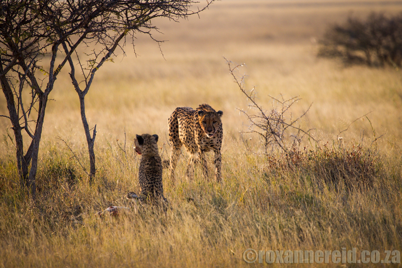Cheetah and cub on a kill near Namutoni, Etosha National Park