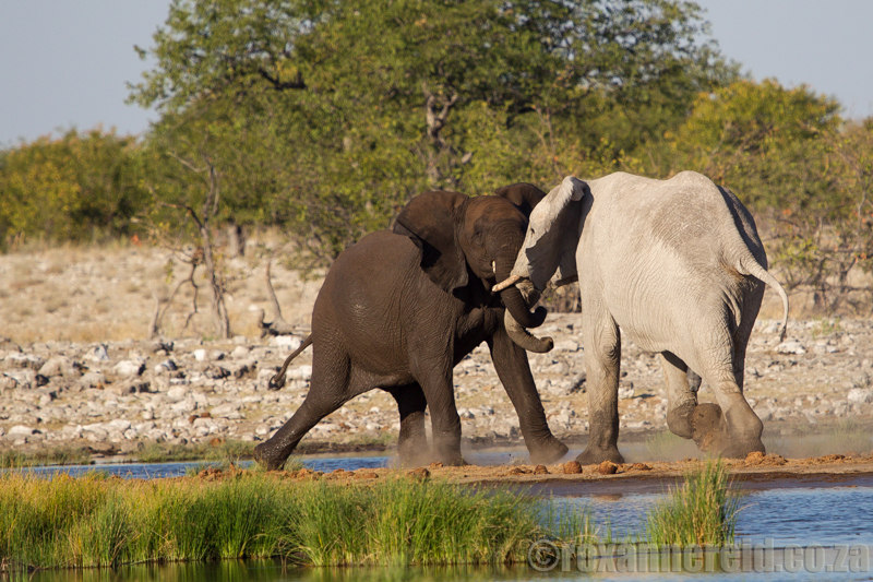 Elephants at Rietfontein waterhole, Etosha National Park, Namibia