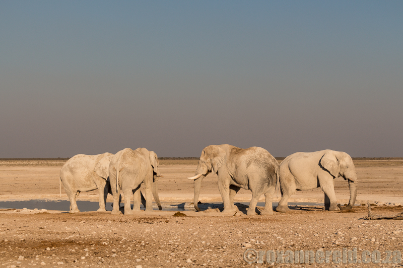 Elephants at Nebrowni waterhole, Etosha National Park, Namibia