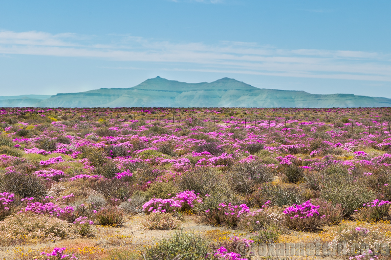 Flowers in the Tankwa Karoo National Park