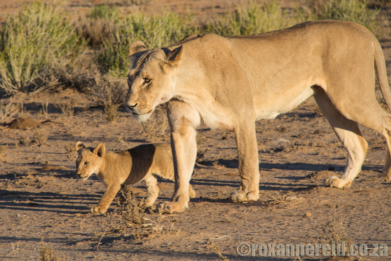 Lioness with cub, Kgalagadi Transfrontier Park