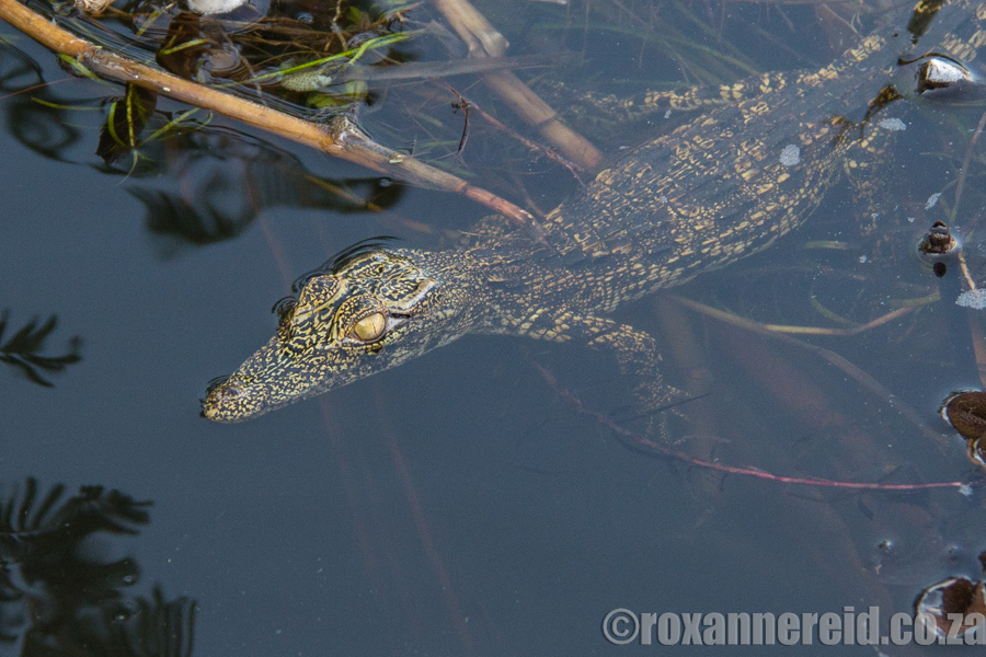 PictureBaby croc, Namibia