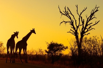 Giraffes, Kruger National Park