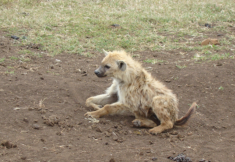 Spotted hhyena, or laughing hyena