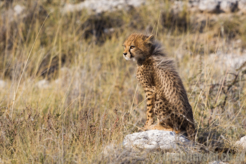Cheetah cub, Etosha National Park