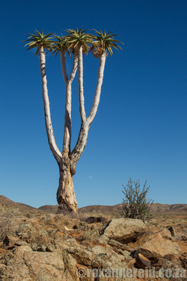 Plants of the Richtersveld