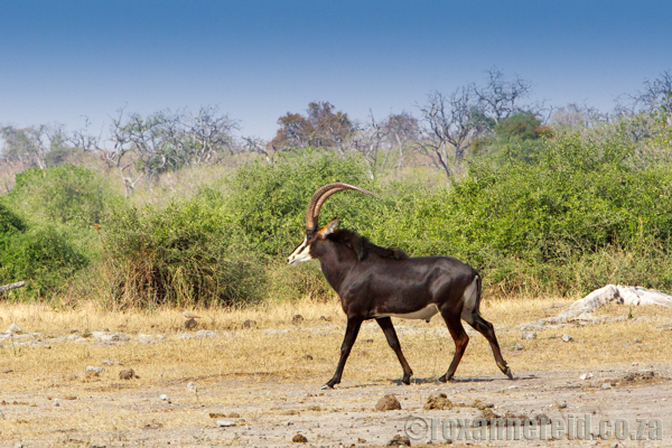 Sable antelope, Chobe National Park, Botswana