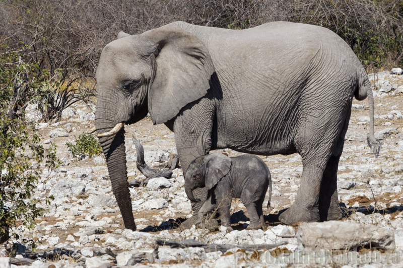 Elephant and calf, Etosha National Park, Namibia