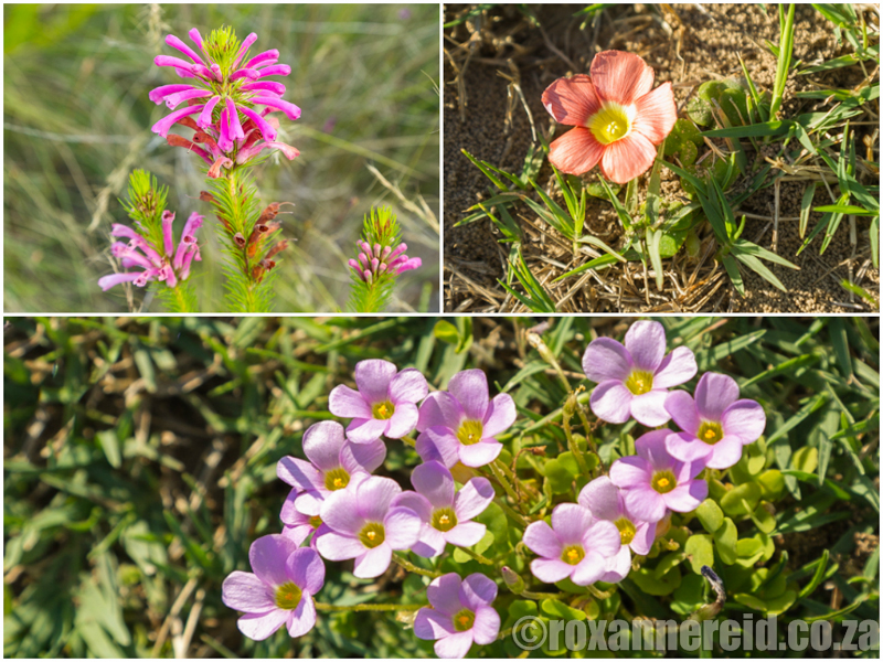 Bontebok National Park, flowers