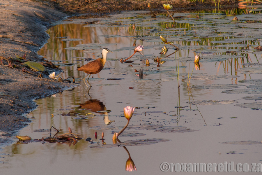 PictureJacana and water lilies, Kwando River, Namibia
