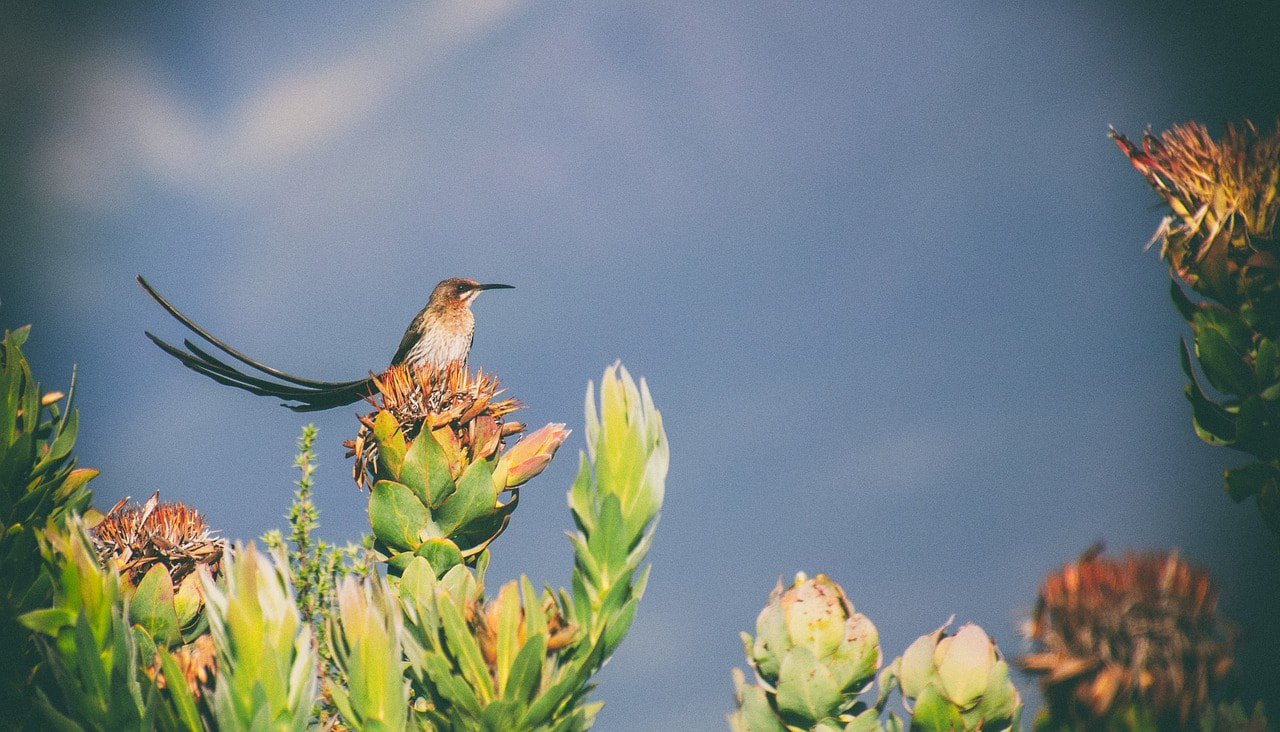 Cape sugarbird on fynbos at Kogelberg Nature Reserve