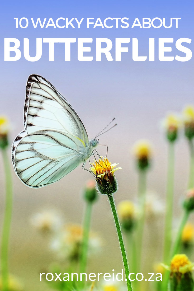 Want to find out 10 fun facts about butterflies? Find out which continent has no butterflies, which is the world's largest butterfly, what they use their feet for and if their wings are transparent. Pin this for later. #butterflies #funfacts #weirdfacts#nature #insects