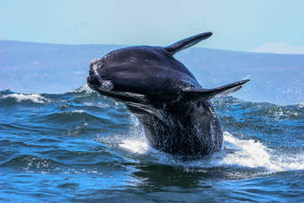 Things to do in Hermanus - whale-watching