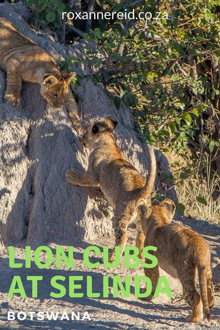 Lions and their cubs at Selinda in Botswana #Selinda #Botswana #lioncubs