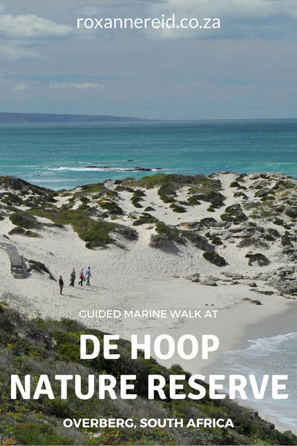 Visiting the De Hoop Nature Reserve in the Cape Overberg of South Africa? Find out why you do not want to miss a guided, interpretive marine walk at De Hoop Nature Reserve to meet all the fascinating creatures of the rock pools at low tide. #DeHoop #rockpools