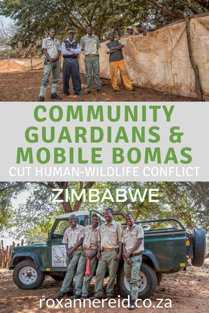 Find out how a creative new project by the Victoria Falls Wildlife Trust at Victoria Falls, Zimbabwe, is using community guardians and mobile bomas to cut human-wildlife conflict in a bold move for conservation. Predator conservation, lion conservation, community outreach, conservation Zimbabwe, Victoria Falls activities Zimbabwe, Victoria Falls conservation. #Zimbabwe #conservation #VictoriaFalls #africa #humanwildlifeconflict