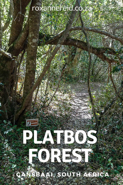 Platbos indigenous forest, Gansbaai, Overberg #SouthAfrica #travel