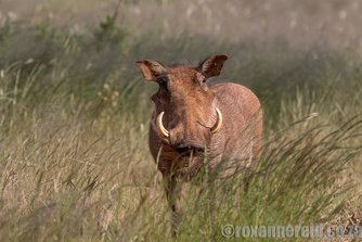 Warthog, Mokala National Park