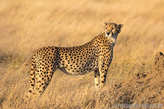 Cheetah, 10 reasons to visit the Serengeti in Tanzania on safari