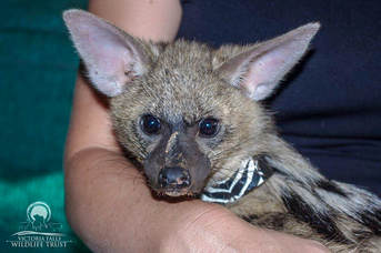 Aardwolf rescued by Victoria Falls Wildlife Trust