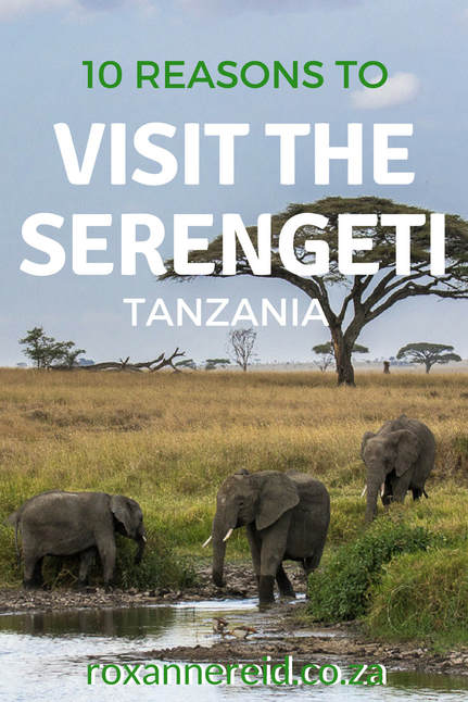 10 reasons to visit the Serengeti National Park in Tanzania, from the wildebeest migration, game drives, hot air ballooning and walking safaris to birding, landscapes, responsible tourism and more. Pin this to your safari board. #safari #wildlife #Serengeti