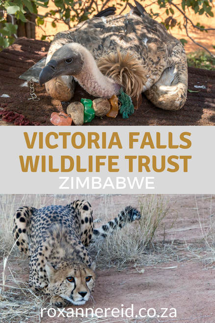 Find out what happens behind the scenes of your Victoria Falls safari and nature activities in Victoria Falls Zimbabwe by visiting the #VictoriaFallsWildlifeTrust. Learn about wildlife rescue and rehabilitation, community outreach, human-wildlife conflict, wildlife research, wildlife conservation and wildlife diagnostic laboratory. Meet cheetah ambassador Sylvester and vulture ambassador Judge, helping with conservation education #conservation #Zimbabwe #victoriafalls #africa