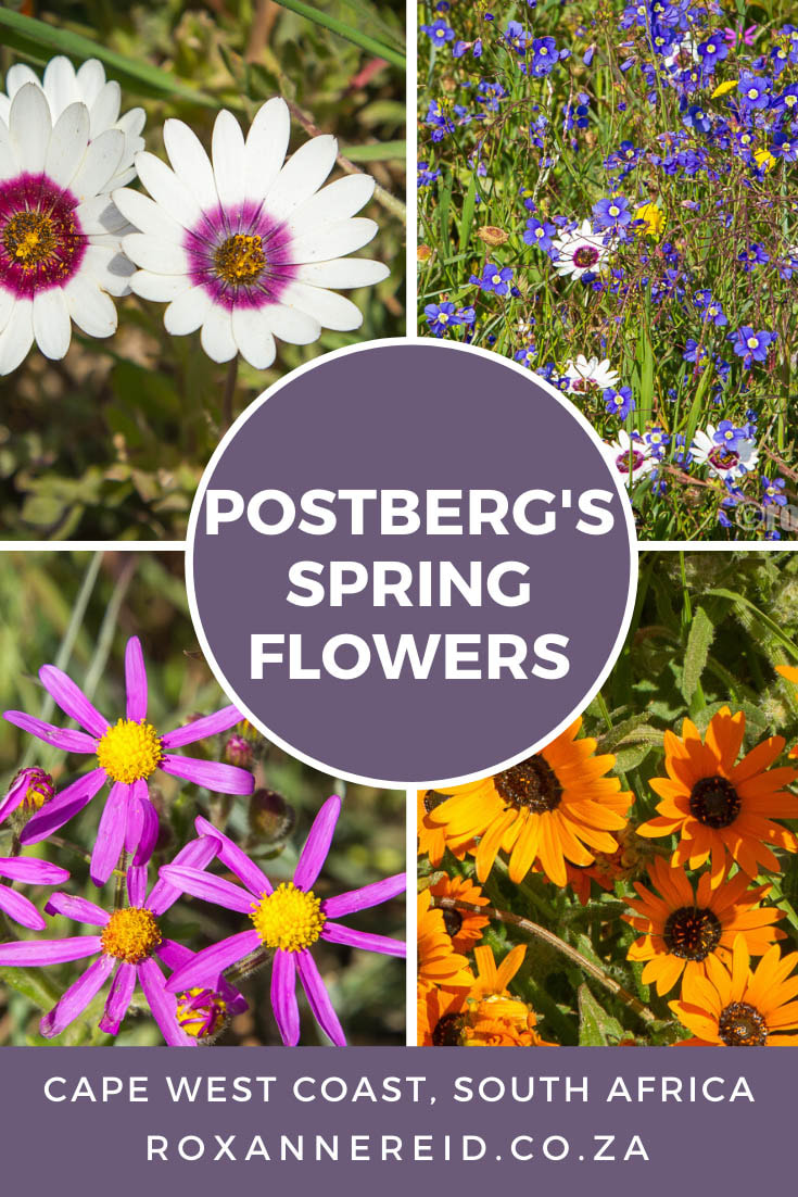 Spring flowers at Postberg in the West Coast National Park #WestCoast #South Africa