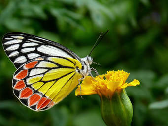 Wacky facts about butterflies, fun facts about butterflies