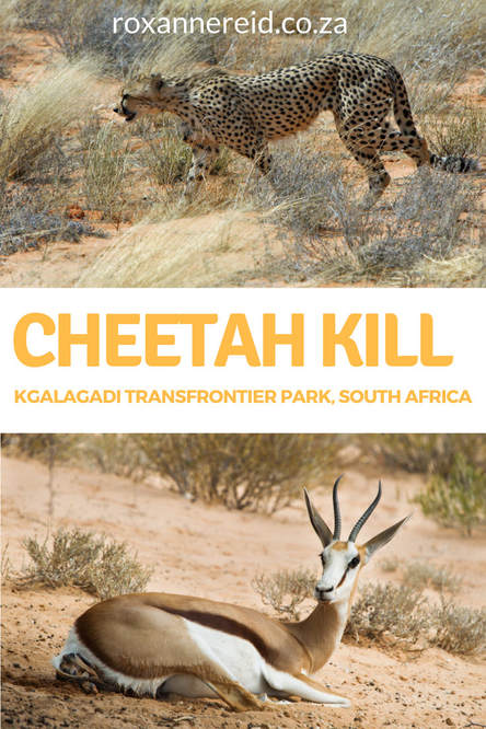 Cheetah kill: life and death in the Kgalagadi Transfrontier Park #SouthAfrica #travel #safari