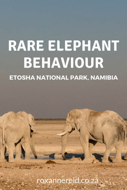 Rare elephant behaviour at Etosha National Park #Namibia #Etosha #elephants