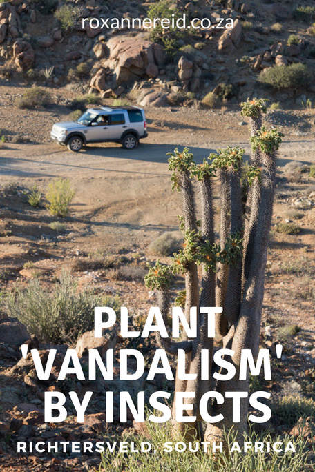 Plant 'vandalism' by insects at Richtersveld, South Africa #Richtersveld #Halfmens #SouthAfrica