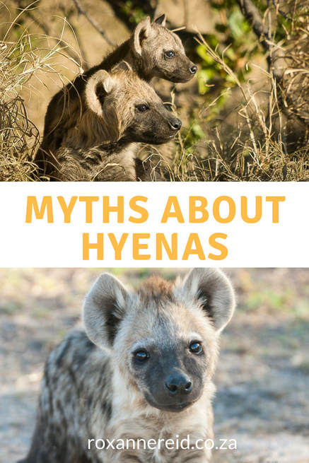 Don't believe these myths about hyenas #Africa #wildlife