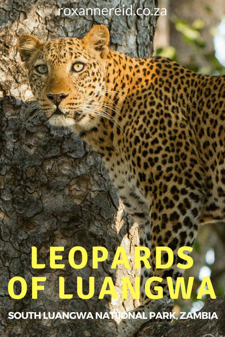 Leopards of South Luangwa National Park, Zambia #Africa #safari #wildlife
