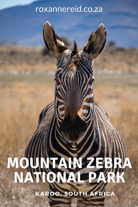 The enchantment of Mountain Zebra National Park, Karoo, #SouthAfrica #travel #safari #karoo  #nationalparks
