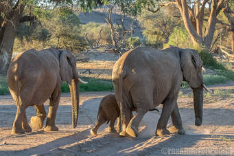 Stay at Twyfelfontein lodge and see desert-adapted elephants