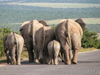 Elephants, Addo National Park